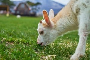 Goats And Toxic Plants Separating Fact From Fiction